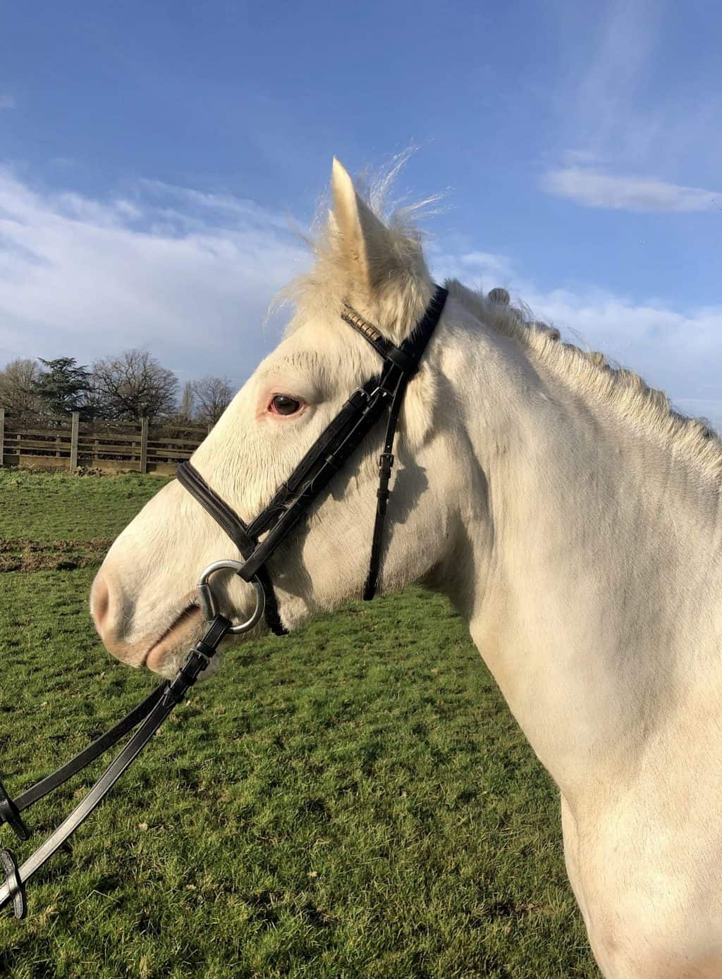 Lilly - 14.2hh Mare